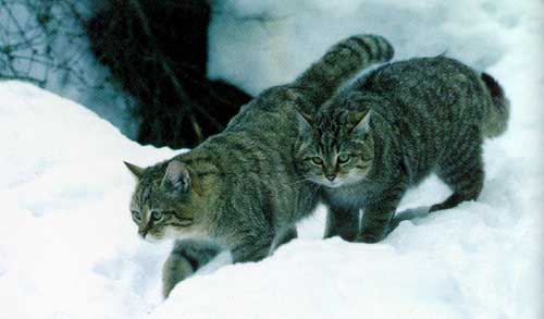 photo de deux chats sauvages en Transcaucasie