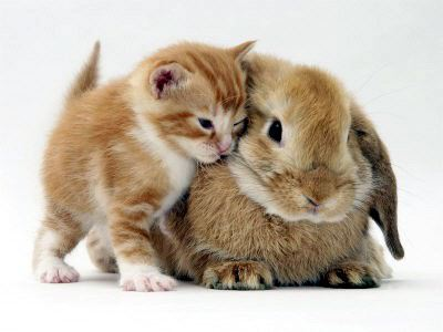 Photo de chaton avec lapin.