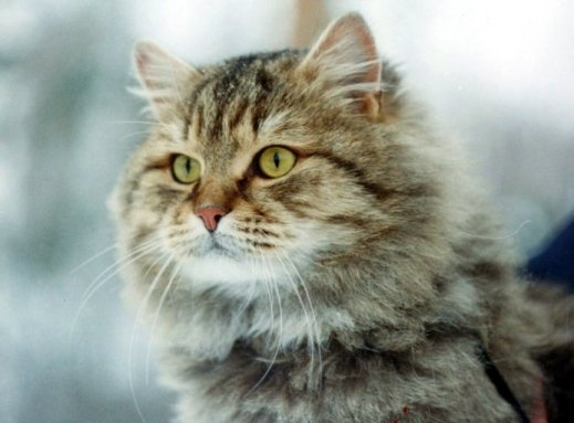 Photo of a beautiful cat Siberian Krasnoyarsk, the Siberian native lines were crossed with the first lines of Moscow.