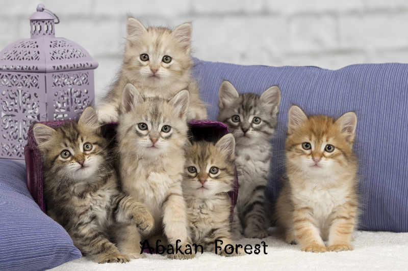 Abakan Forest- Cattery family - Paris - Character, standard
